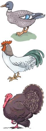 canard, coq et dindon