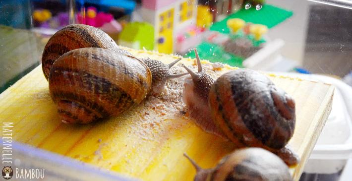 élevage d'escargots