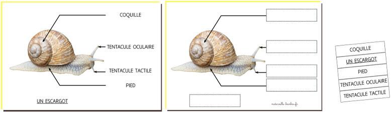 Anatomie de l'escargot à légender en maternelle