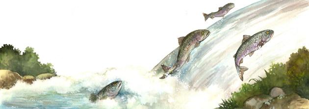 L'odyssée des rivières - Les saumons d'Atlantique remontent les rivières pour pondre leurs œufs.