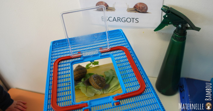élevage d'escargots dans la classe