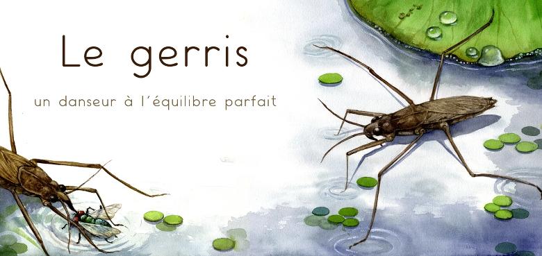 les insectes : le gerris